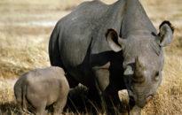 rhino_ngorongoro