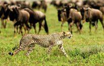 serengeti_
